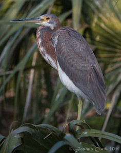 Juvenile Tri-Colored Heron St. Augustine Natural Rookery, Florida