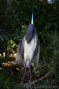 Male Tri-Colored Heron, courtship display St. Augustine Natural Rookery, Florida