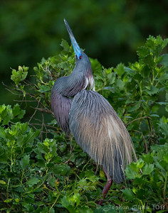 Tri-Colored Heron St. Augustine Natural Rookery, Florida