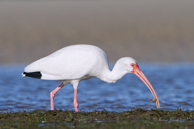 White Ibis San Carlos Bay Bunche Beach Preserve, Florida