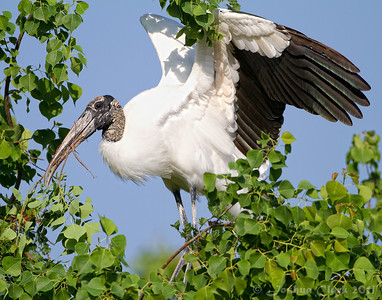 Wood Stork St. Augustine Natural Rookery, Florida