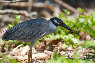 "Yellow Crowned Night HeronJ.N. ""Ding Darling"" Wildlife Refuge, Florida"
