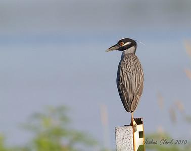 "Yellow Crowned Night HeronJ.N. ""Ding Darling"" Wildlife Refuge, Florida>"