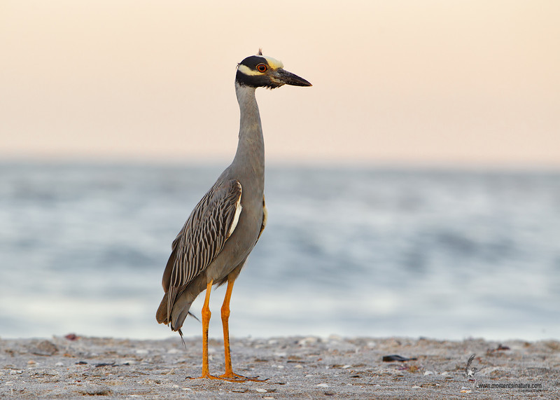 """<center><font face=""""Century Gothic"""" size=""""+1"""" color=""""#FFFFFF"""">Yellow-crowned Night Heron <font face=""""Century Gothic"""" size=""""+1""""><center><font color= #377915>Sanibel Island, Florida"""