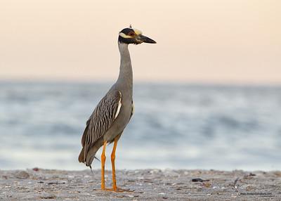 Yellow-crowned Night Heron Sanibel Island, Florida