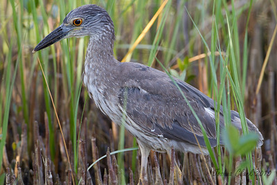"Juvenile Yellow Crowned Night HeronJ.N. ""Ding Darling"" Wildlife Refuge, Florida"