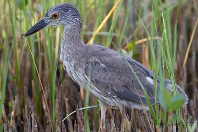 "Juvenile Yellow Crowned Night HeronJ.N. ""Ding Darling"" Wildlife Refuge, Florida"
