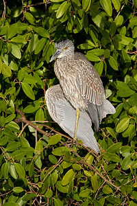 "Juvenile Yellow Crowned Night Heron J.N. ""Ding Darling"" Wildlife Refuge, Florida"