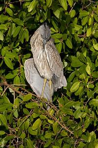"""Juvenile Yellow Crowned Night Heron J.N. """"Ding Darling"""" Wildlife Refuge, Florida"""