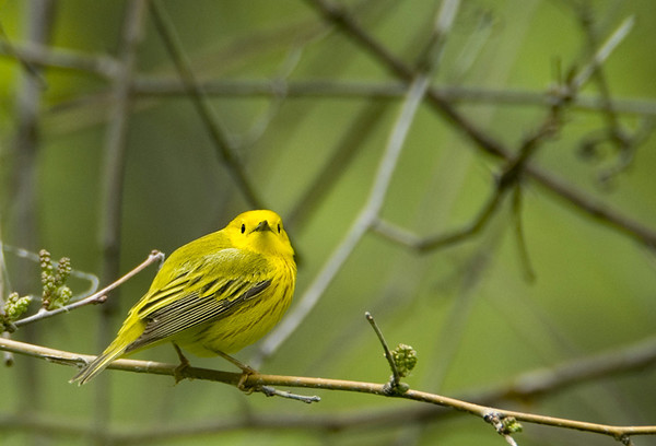 Yellow Warbler 3<br /> Pt. Pelee National Park