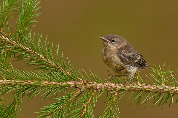 Pine Warbler Chick