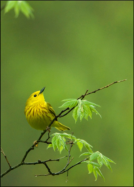 Yellow Warbler 1<br /> Pt. Pelee National Park