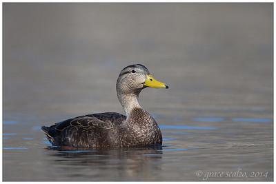 American Black Duck, Long Island, NY