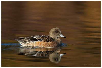 American Widgeon Hen, Long Island, NY