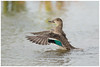Green-winged Teal Hen Flapping