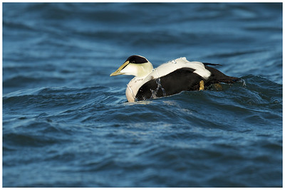 Common Eider Drake, Long Island, NY