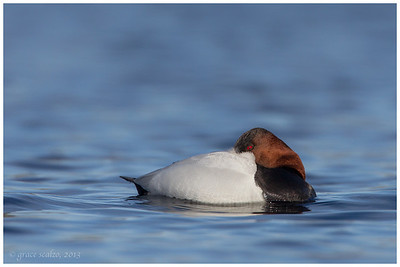 Canvasback, Long Island, NY
