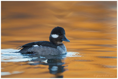 Bufflehead Hen, Long Island, NY