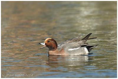 Eurasian Widgeon, Long Island, NY