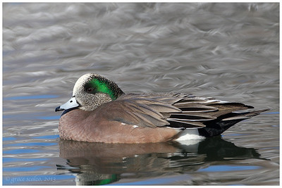 American Widgeon, Bosque, NM
