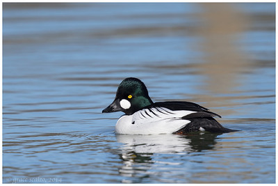 Common Goldeneye, Long Island, NY