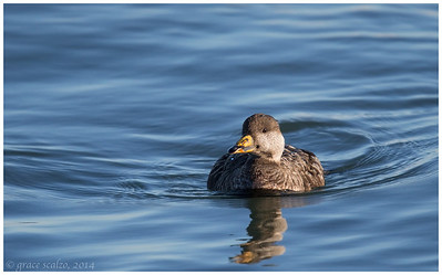 Black Scoter, Long Island, NY