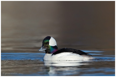 Bufflehead, Long Island, NY