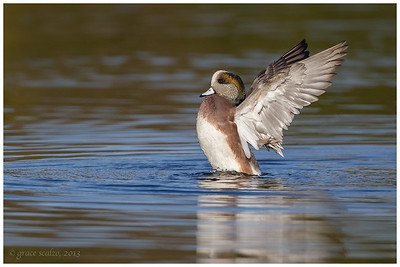 American Widgeon, Long Island, NY