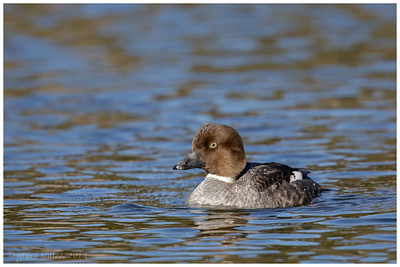 Common Goldeneye Hen, Long Island, NY