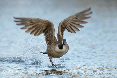 Canada Goose, Long Island, NY, Fall 2014