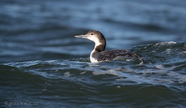 Common Loon (non-breeding plumage)