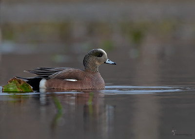 American WigeonAurora Wetlands, Ohio