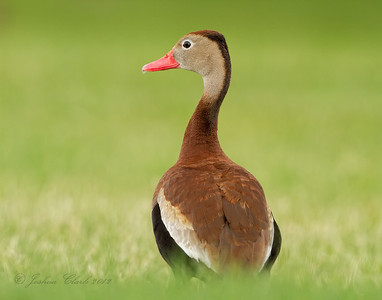 Black-Bellied Whistling Duck Ocala, Florida (private residence)