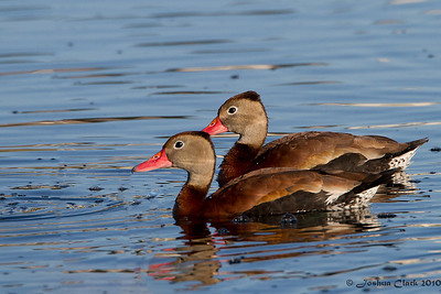 Black-Bellied Whistling DucksOcala, Florida