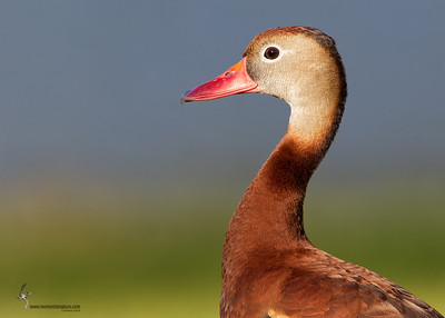 Black-bellied Whistling Duck Ocala, Florida