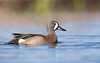 "<center><font face=""Century Gothic"" size=""+1"" color=""#FFFFFF"">Blue-winged Teal</font></center><font face=""Century Gothic"" size=""+1"" color=""#3366FF""><center><font color=""#377915"">Tinkers Creek State Nature Preserve, Ohio</font></center></font>"