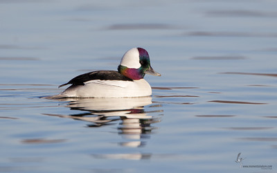 Bufflehead (drake)Mosquito Lake, Ohio