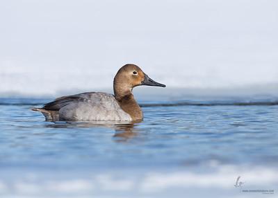 Canvasback (female)Portage Lakes, Ohio