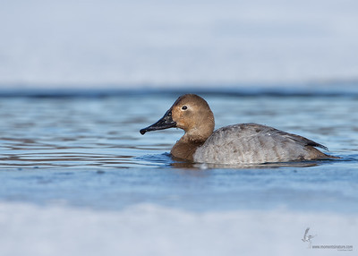 Canvasback (female)Portage Lakes, Ohio