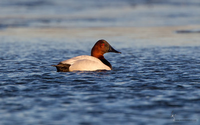 Canvasback Mosquito Lake, Ohio