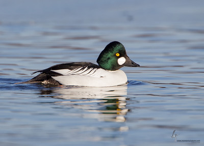 Common Goldeneye (drake)Mosquito Lake, Ohio