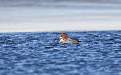 Common Merganser (hen)Mosquito Lake, Ohio