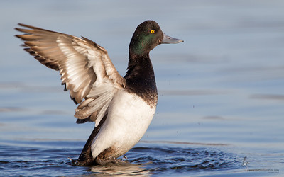 Greater Scaup (drake)East 72nd Cleveland, Ohio