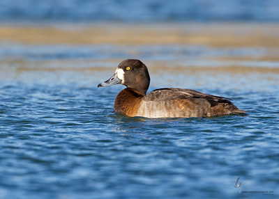 Greater Scaup (hen)East 72nd Cleveland, Ohio