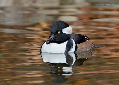 Hooded MerganserKellogg Bird Sanctuary, Michigan
