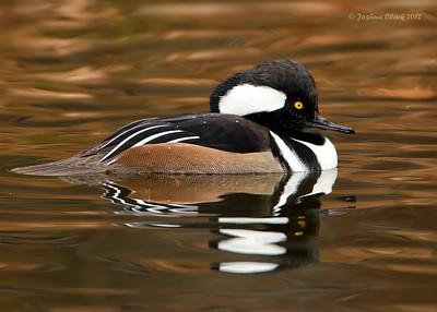 Hooded MerganserKellogg Bird Sanctuary, Michigan