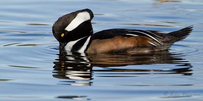 Hooded MerganserW.K. Kellogg Bird Sanctuary