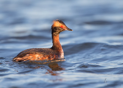 Horned Grebe (eclipse plumage)Mosquito Creek Lake, Ohio