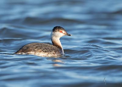 Horned Grebe (winter plumage)Mosquito Creek Lake, Ohio