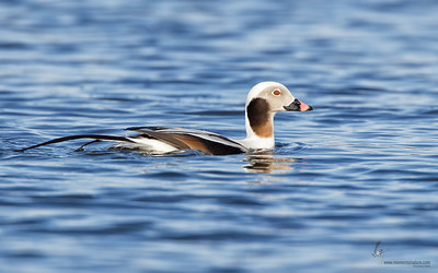 Long-tailed Duck (drake)Mosquito Lake, Ohio